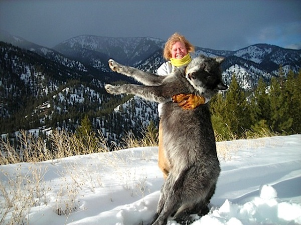 Giant Idaho Wolves - Look at the size of these wolves ...
